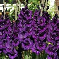 Цибулини гладіолусів Purple flora