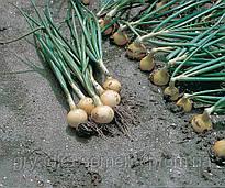 Лук репчатый Свифт Bejo Zaden 250000 семян