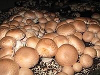 Засеянные комплекты блоки Королевского (коричневого) шампиньона 60 х 40 см