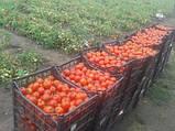 Солероссо F1 семена томата 1000 шт Nunhems Голландия, фото 4