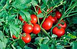 Солероссо F1 семена томата 1000 шт Nunhems Голландия, фото 5