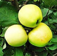 Саженцы яблони Снежный Кальвиль осенний сорт  двухлетие