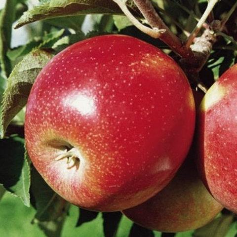 Саженцы яблони Канзи зимний сорт двухлетние