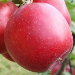 Саженцы яблони Эвелина зимнего сорта двухлетние