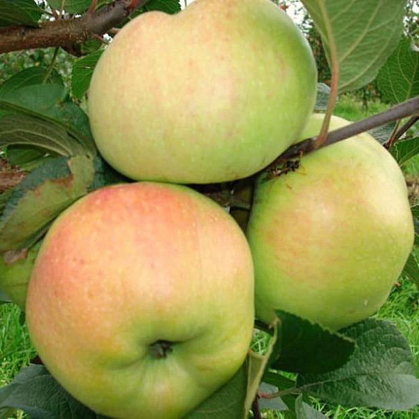 Саженцы яблони Пепинка Золотистая, осеннего сорта двухлетие