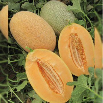 Семена дыни Карьера, 1000 семян, Nunhems