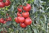 Абелус F1 10 шт семена томата Rijk Zwaan Голландия, фото 2