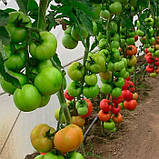 Абелус F1 10 шт семена томата Rijk Zwaan Голландия, фото 3