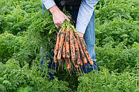 Морковь Нерак F1 калибр 2.0-2.2 Bejo Zaden 100 тыс семян