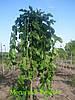 Шелковица ф. плакучая привитая штамб 150-180см. ( Morus alda Pendula)