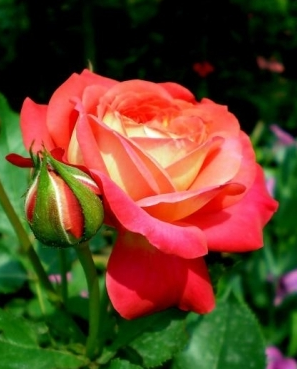 Роза Midsummer (Мидсаммэр)