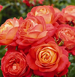 Роза Midsummer (Мидсаммэр), фото 2