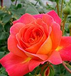 Роза Midsummer (Мидсаммэр), фото 3