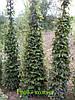 Граб ф. колоновидный. ( Carpinus) 200-300cм.