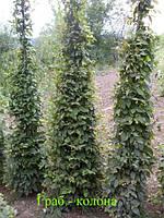 Граб ф. колоновидный. ( Carpinus) 200-300cм., фото 1