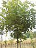 Клен остролистый (Аcer platanoides Drummondii)  2-4 года 150-300см