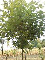 Клен остролистый (Аcer platanoides Drummondii)  2-4 года 150-300см, фото 1