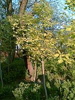 Клен ясенелистый (Аcer negundo Odessanum )  2-3 года 150- 250см