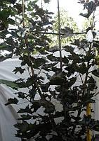 Клен остролистый (Аcer platanoides Feassen's Black)  2-4 года 150-300см