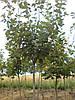 Клен -явор ( Acer pseudoplatanus «Leopoldii») 2-4 года 150-250 см