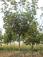 Клен -явор ( Acer pseudoplatanus «Leopoldii») 2-4 года 150-250 см, фото 1