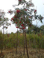 Рябина обыкновенная. ( Sorbus aucuparia), фото 1