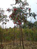 Рябина обыкновенная. ( Sorbus aucuparia)