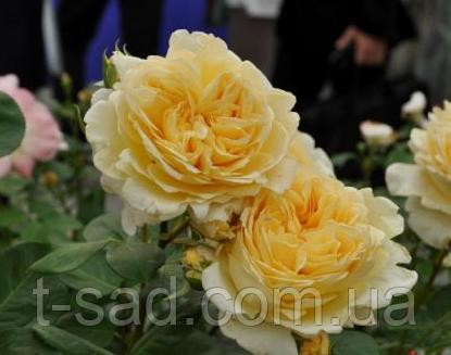 Роза Bella di Todi(ді Белла Тоди)
