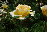 Роза Bella di Todi(ді Белла Тоди), фото 2