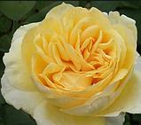 Роза Bella di Todi(ді Белла Тоди), фото 3