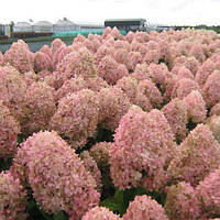 Гортензія волотиста (Hydrangea paniculata Magical Sweet Summer)