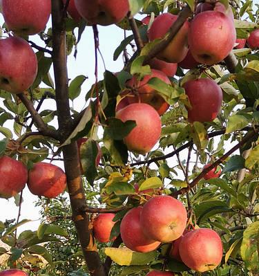Саженцы яблони на карликовом подвое (М.9 T337) - Весна 2021