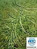 Топ Продаж на весні 2020 року. Насіння ярого ріпаку Сіріус 85-95 днів. Врожайний ріпак 40-45ц/га, олійність 47%, 155см, стійкий до посухи, морозів та хвороб Сіріус.