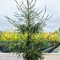 Ель обыкновенная 'Virgata' , Picea abies 'Virgata'