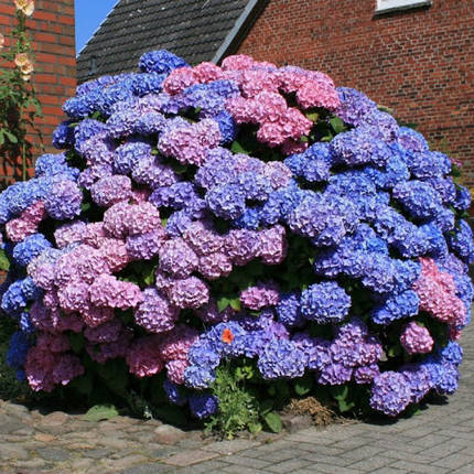 Гортензия 'Bouquet Rose', (С3), фото 2