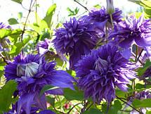 Клематис Мульти Блю (Multi Blue) 2 тип, фото 2