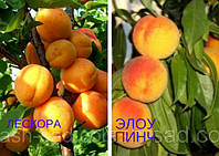 Саженец абрикоса Лескора + персик Эллоу Пинч