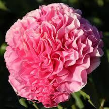 Пион  Carnation Bouquet