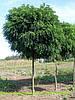 Акация шаровидная  (Robinia pseudoacacia Umbraculifera)