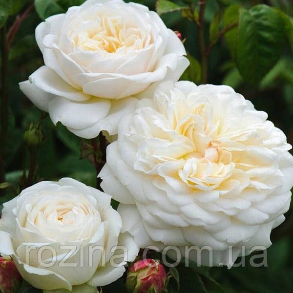 """Саджанці троянди """"Транквіліті"""""""
