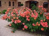 Саженцы плетистых оранжевых роз, фото 1