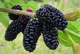 Саженцы шелковицы крупноплодной Черный принц