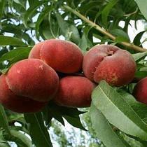Саженцы персика Инжирный Никитский