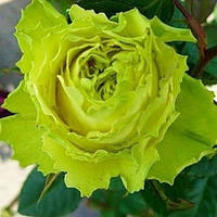 Саженцы роз Зеленая планета