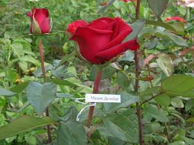 Саженцы роз Мадам Дельбар