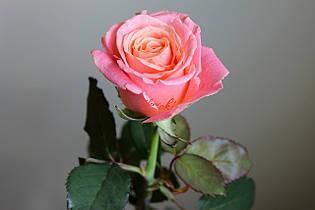 Саженцы роз Моника