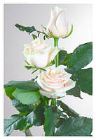 Саженцы роз Талея