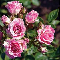 Саженцы бордюрных роз Пинк Флеш