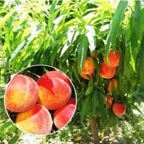 Саженцы колоновидного персика Штайнберг