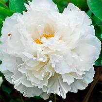 Пион White Snow Bai Xue Gong Zhu древовидный (саженцы)